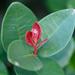Maurocenia frangula - Photo (c) peterswart,  זכויות יוצרים חלקיות (CC BY-NC)