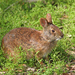 Marsh Rabbit - Photo (c) Tomfriedel, some rights reserved (CC BY)