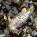 Polycera norvegica - Photo (c) elegaer, algunos derechos reservados (CC BY-NC)