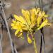 Tylecodon cacalioides - Photo (c) ianrijsdijk, osa oikeuksista pidätetään (CC BY-NC)