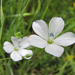 Pale Flax - Photo (c) randomtruth, some rights reserved (CC BY-NC-SA)