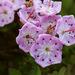 Kalmia microphylla - Photo (c) Patrick Alexander, μερικά δικαιώματα διατηρούνται (CC BY-NC-ND)