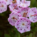 Western Bog Laurel - Photo (c) Patrick Alexander, some rights reserved (CC BY-NC-ND)