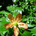Elliottia pyroliflora - Photo (c) Emma Harrower,  זכויות יוצרים חלקיות (CC BY-NC)