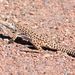 Long-nosed Leopard Lizard - Photo (c) Shawn Billerman, some rights reserved (CC BY-NC)