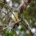 Greenish Tyrannulet - Photo (c) Hector Bottai, some rights reserved (CC BY-SA)