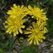 Pilosella caespitosa - Photo (c) Anita, algunos derechos reservados (CC BY-NC-SA)