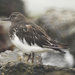 Black Turnstone - Photo (c) Doug Greenberg, some rights reserved (CC BY-NC-ND)