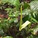 Anthurium ochranthum - Photo (c) pffoster, algunos derechos reservados (CC BY-NC)