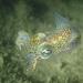 Sepiola atlantica - Photo (c) Pierre Corbrion,  זכויות יוצרים חלקיות (CC BY-NC-SA)