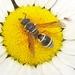 Pseudepipona herrichii aldrichi - Photo (c) Russell Pfau, μερικά δικαιώματα διατηρούνται (CC BY-NC)