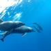 Golfinhos Oceânicos - Photo (c) Sergio Martínez, alguns direitos reservados (CC BY-NC)