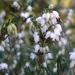 Erica × darleyensis - Photo (c) Niall McAuley, algunos derechos reservados (CC BY-NC-SA)