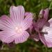Sidalcea malviflora malviflora - Photo (c) Philip Bouchard, algunos derechos reservados (CC BY-NC-ND)