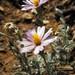 Corethrogyne filaginifolia filaginifolia - Photo Stickpen, δεν υπάρχουν γνωστοί περιορισμοί πνευματικών δικαιωμάτων (Κοινό Κτήμα)