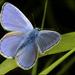 Polyommatus - Photo (c) Frans, algunos derechos reservados (CC BY-NC-ND)