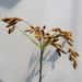 Scirpus pendulus - Photo (c) Jason Whittle, algunos derechos reservados (CC BY-NC-ND)