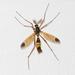 Ctenophorinae - Photo (c) carnifex,  זכויות יוצרים חלקיות (CC BY)