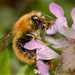 Common Carder Bumble Bee - Photo (c) Roberto Fontana, some rights reserved (CC BY-NC)