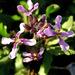 Chorispora tenella - Photo (c) Zaxy,  זכויות יוצרים חלקיות (CC BY-NC-ND)