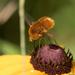 Bombylius comanche - Photo (c) David McCorquodale, algunos derechos reservados (CC BY)