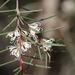 Bushy Needlewood - Photo (c) Arthur Chapman, some rights reserved (CC BY-NC-SA)