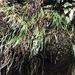 Schizaea rupestris - Photo (c) helen_y, osa oikeuksista pidätetään (CC BY-NC)