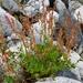 Acedera Romana - Photo (c) Nuuuuuuuuuuul, algunos derechos reservados (CC BY)