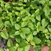 Origanum - Photo (c) douneika, some rights reserved (CC BY-NC-SA)