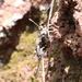 Turnerina mejicanus - Photo (c) Javier Cruz Nieto, algunos derechos reservados (CC BY-NC)