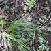Carex hamata - Photo (c) Neptalí Ramírez Marcial,  זכויות יוצרים חלקיות (CC BY-NC)