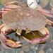 Cangrejo de Rocas del Atlantico - Photo (c) Steve King, algunos derechos reservados (CC BY-NC)