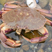 Atlantic Rock Crab - Photo (c) Steve King, some rights reserved (CC BY-NC)