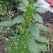 Dwarf Nettle - Photo (c) Yulia Fedorova, some rights reserved (CC BY-NC)