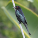 Spangled Drongo - Photo (c) Jenny Donald, some rights reserved (CC BY-NC)