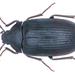 Prionychus - Photo (c) Udo Schmidt, algunos derechos reservados (CC BY-SA)