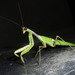 Large Green Praying Mantises - Photo (c) gailhampshire, some rights reserved (CC BY-NC-SA)