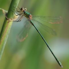 Caballito del Diablo Verde Esmeralda - Photo (c) Jakob Fahr, algunos derechos reservados (CC BY-NC)