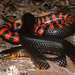 Mudsnake - Photo (c) Travis W. Reeder, some rights reserved (CC BY-NC)