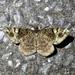Duliophyle agitata - Photo (c) りなべる,  זכויות יוצרים חלקיות (CC BY-NC-ND)