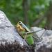 Eupholidoptera schmidti - Photo (c) carnifex, μερικά δικαιώματα διατηρούνται (CC BY)