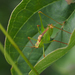 Leptophyes punctatissima - Photo (c) carnifex,  זכויות יוצרים חלקיות (CC BY)
