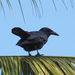 Cuban Crow - Photo (c) carnifex, some rights reserved (CC BY)