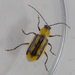 Western Corn Rootworm Beetle - Photo (c) carnifex, some rights reserved (CC BY-NC)