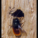 Osmia cornuta - Photo (c) Christophe Quintin, μερικά δικαιώματα διατηρούνται (CC BY-NC)