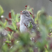 Timberline Sparrow - Photo (c) camerondeckert, some rights reserved (CC BY-NC)