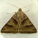 Forage Looper Moth - Photo (c) Dick, some rights reserved (CC BY-NC-SA)
