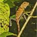 Gonocephalus bornensis - Photo (c) Joe Pan, μερικά δικαιώματα διατηρούνται (CC BY-NC)