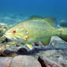 Micropterus dolomieu - Photo Eric Engbretson, U.S. Fish and Wildlife Service, לא ידועות מגבלות של זכויות יוצרים  (נחלת הכלל)