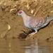 Columba guinea - Photo (c) Christoph Moning,  זכויות יוצרים חלקיות (CC BY)